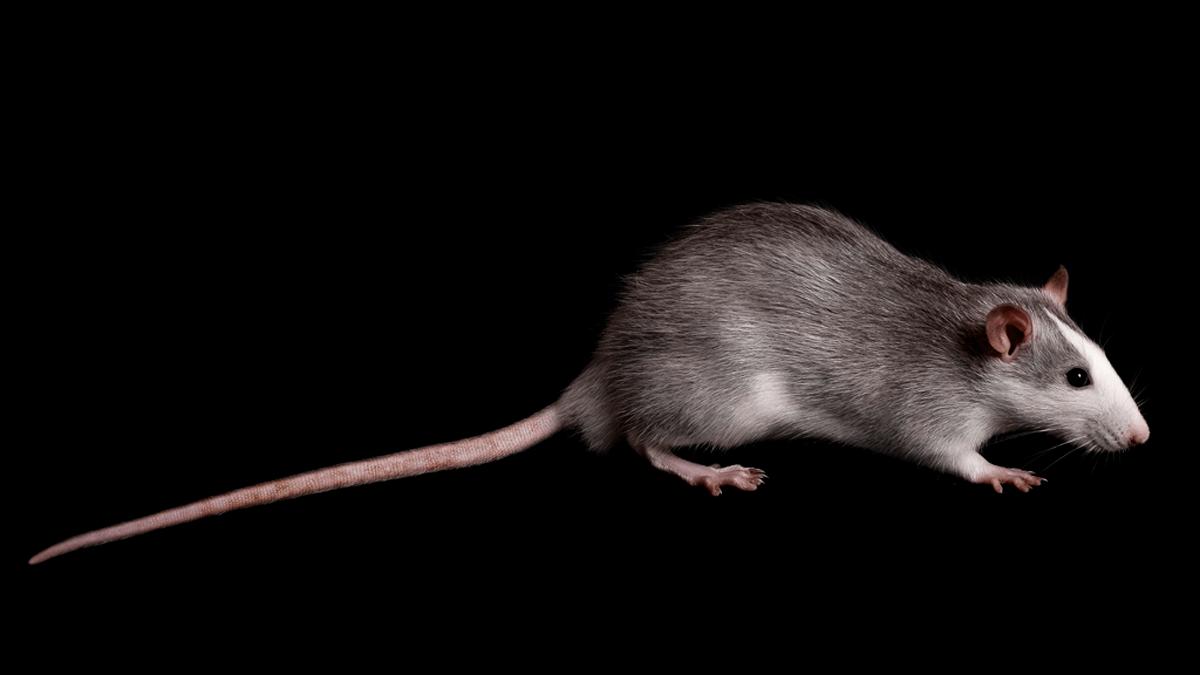 286-Rat-Tails