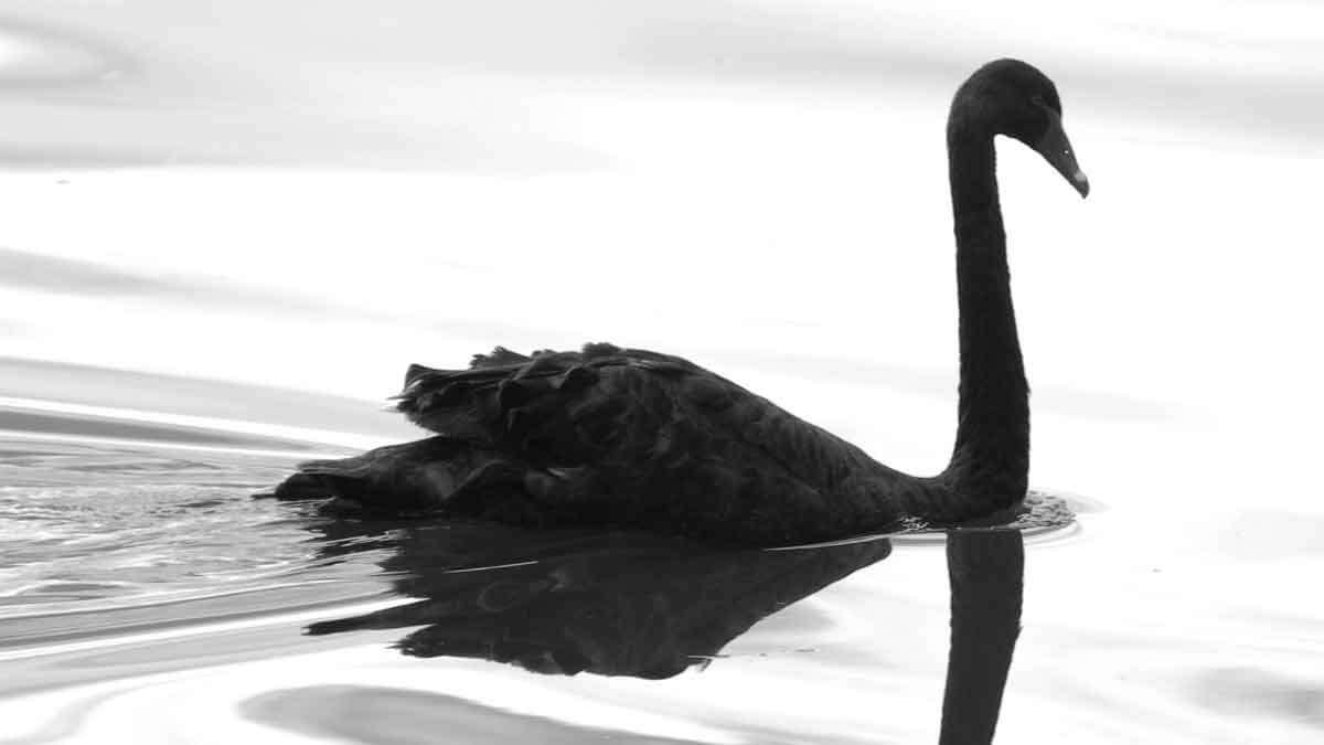 305-Black-swan
